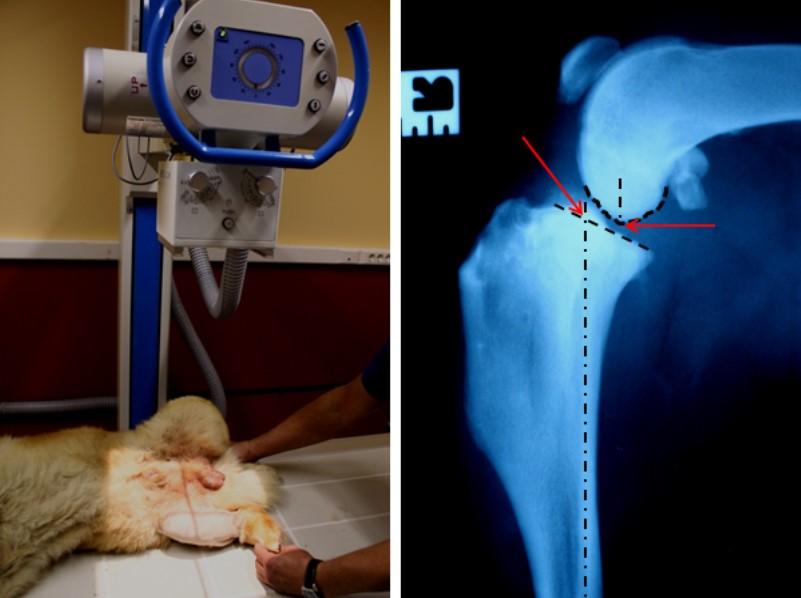 Периартикулярная стабилизация сустава у собак лечение суставов рентгеном и лазером